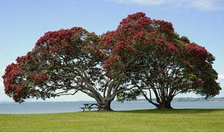 Pohutukawa trees on the beach